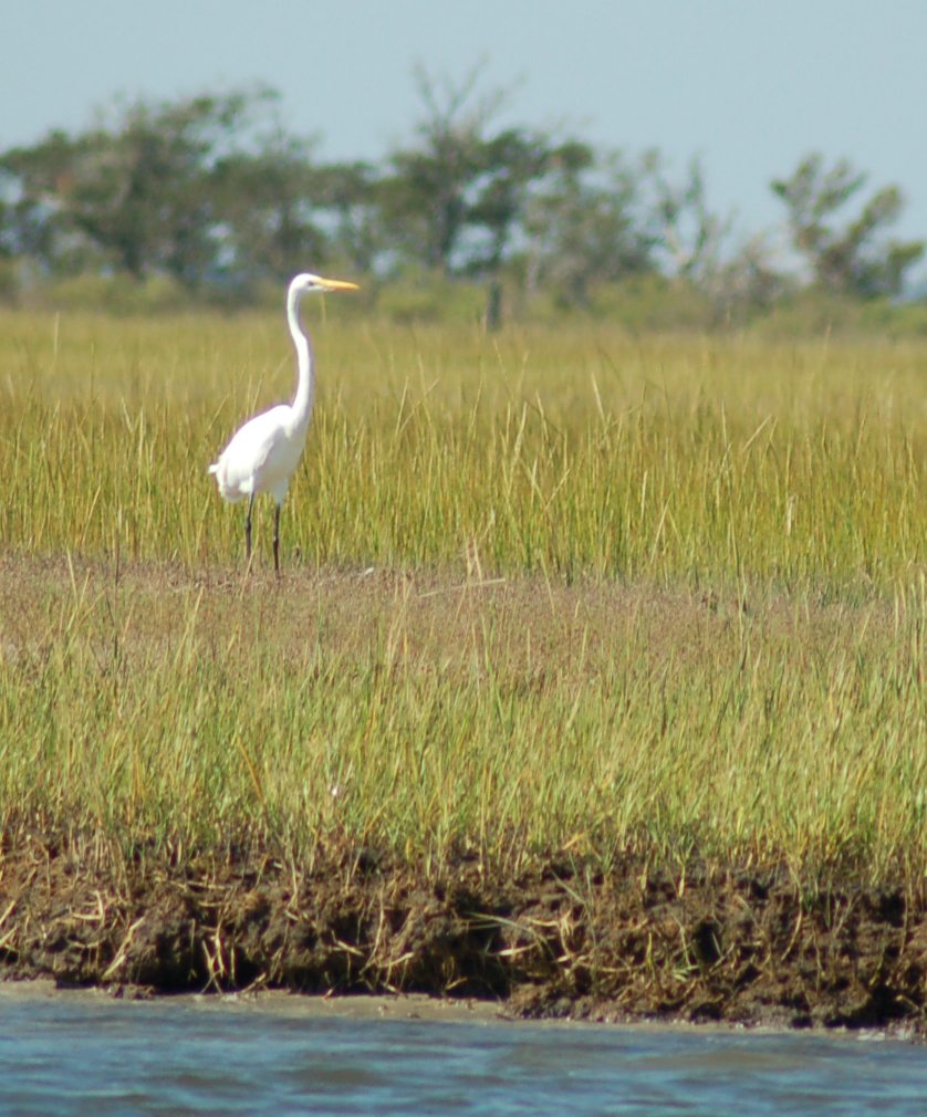 heron in marsh0003